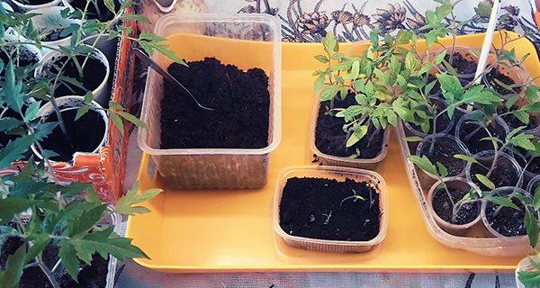 Как вырастить раннюю рассаду помидор!