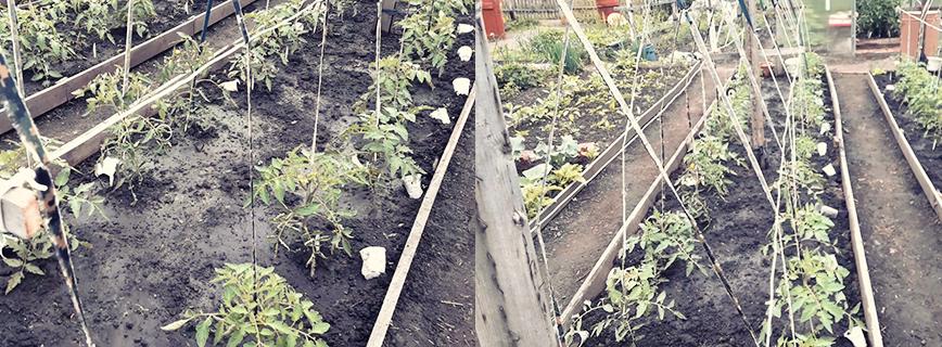 Подвязка крупноплодных помидор в открытом грунте