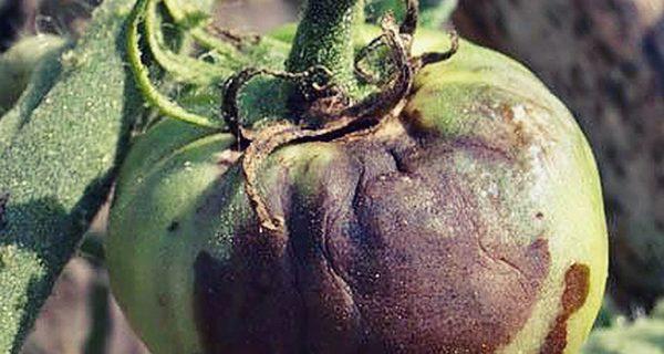 Защита томатов от фитофтороза  на 100%