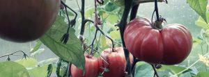 Обзор 55 сортов помидор в теплице в 2018 году