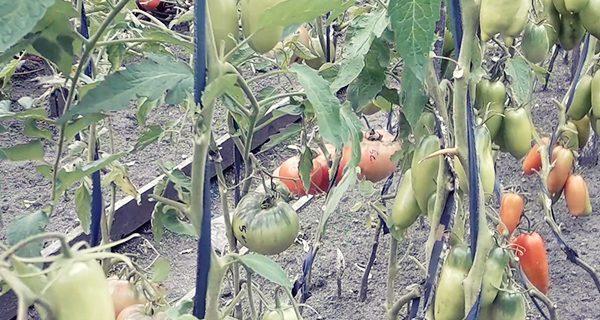 Обзор сортов помидор 2018 видео