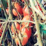 Лучшие сорта низкорослых помидор в 2018 году фото