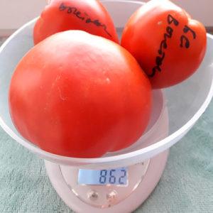 Bych'ye serdtse Vystavochnyy томат