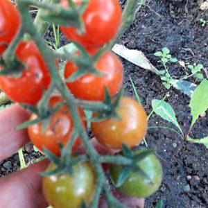 Cherri krasa dlinnaya kosa томат