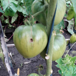 Malinovka iz Semipalatinska томат