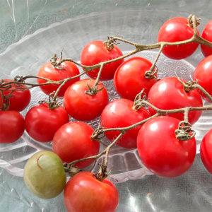 Mal'vina томат