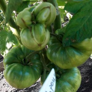 Sibirskaya korona томат