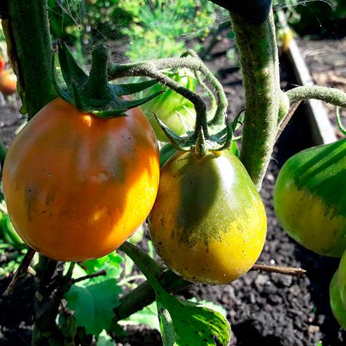 Yaponskiy tryufel' oranzhevyy томат