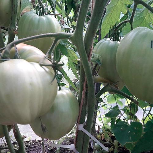 krasnyye sedechki Rayfa томаты