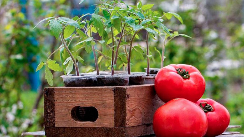 Подготовка и посев семян помидор! Всхожесть 100%