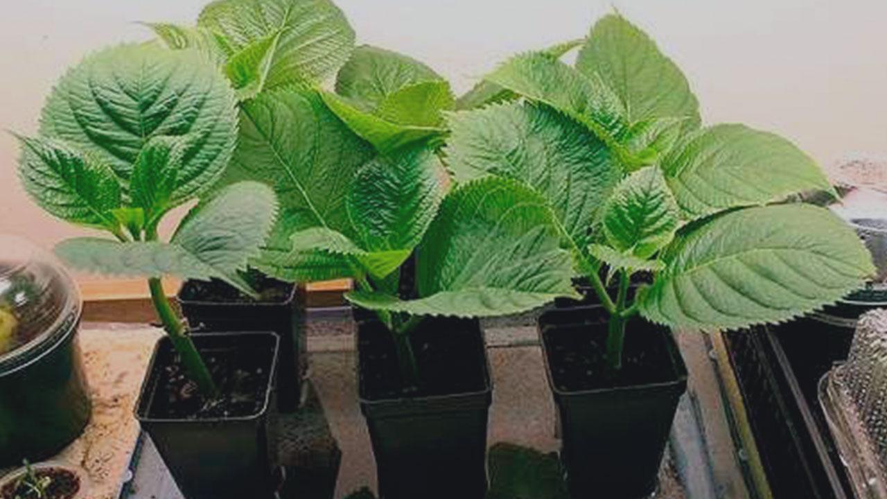 Kak-poseyat'-semena-Gortenzii