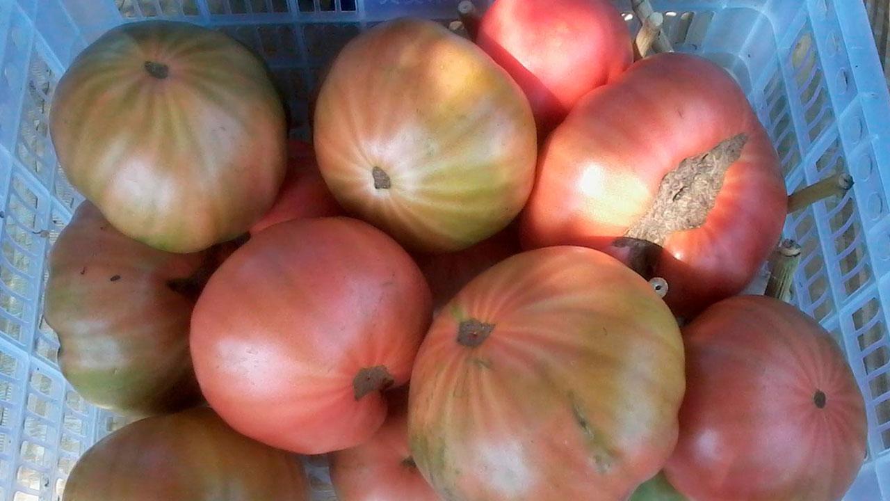 Krupnoplodnyye-sorta-tomatov-na-2019-g