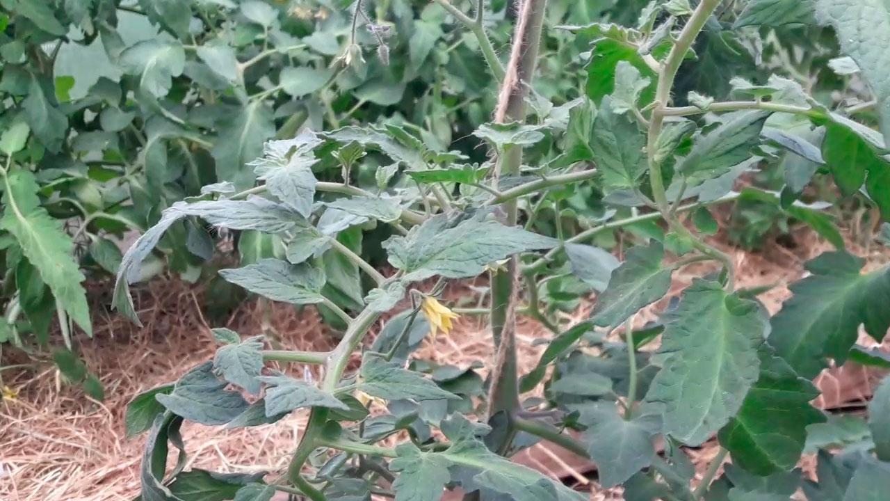 Profilaktika-tomatov-ot-fitoftoroza