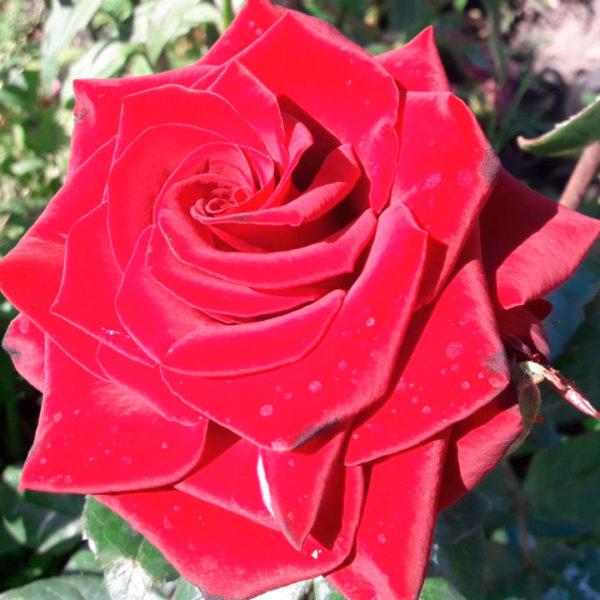 Роза чайная Черный принц! Старинный сорт