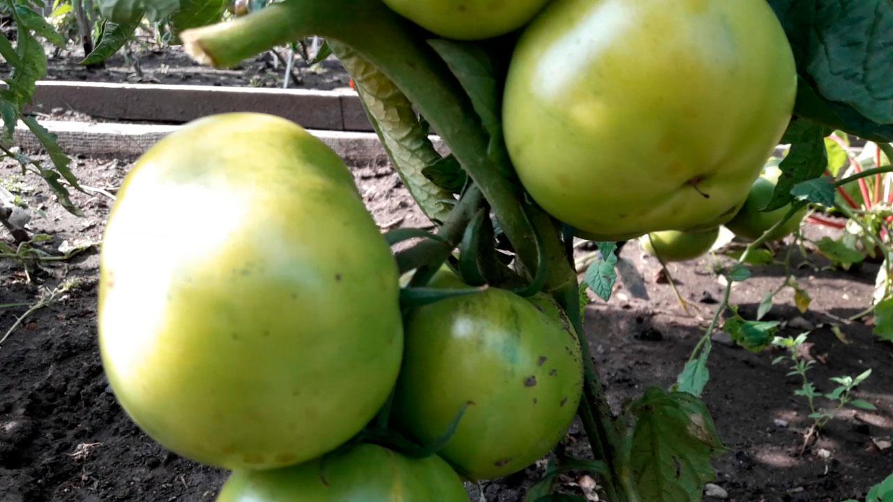 обзор томатов на открытом грунте