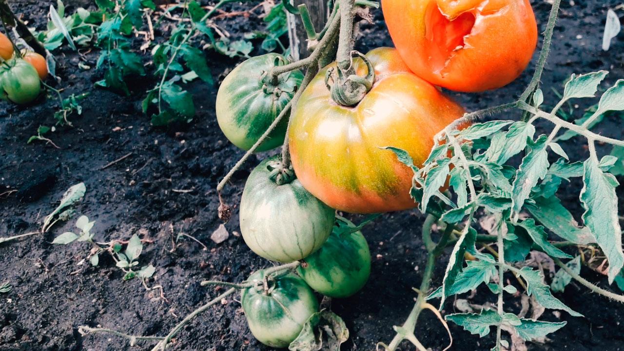 Krupnoplodnyye-tomaty-na-1-avgusta-2019g.-Otkrytyy-grunt.gryadka-1