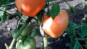 Tomaty-v-otkrytom-grunte-2019!-Obzor-chetvertoy-gryadki_