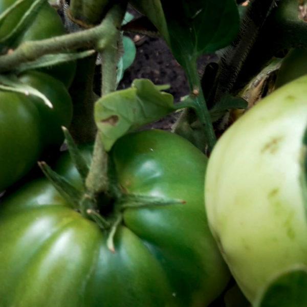 Томаты в открытом грунте 2019! Крупноплодные сорта томатов. грядка 2