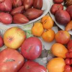 prodazha-semyan-tomatov