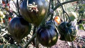 Sort-tomata-Droblonoye-sertse