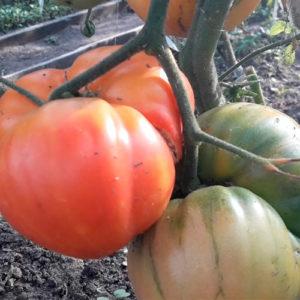 Sort-tomata-Greĭpfrut-bikolo