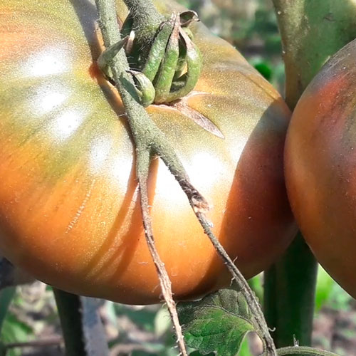 sort-tomata-shayba