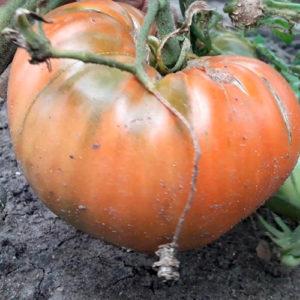 Sort-tomata-Bol'shaya-pasta-Kerol-Chiko