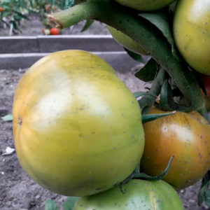 Sort-tomata-Gigant