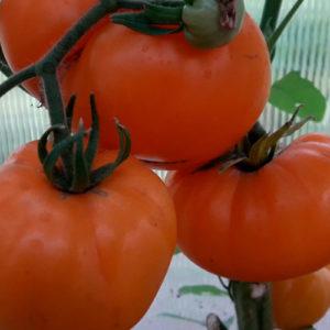 Sort-tomata-Letniy-Sidr