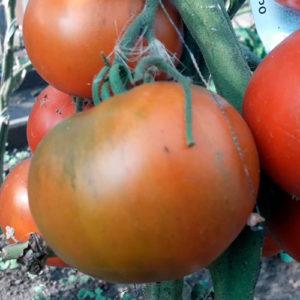 Sort-tomata-dobrynya-nikitich
