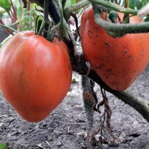 Sort-tomata-rozovaya-podushka_