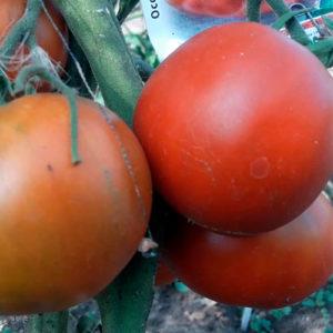 Sort-tomata-sibirskiy-medved_site