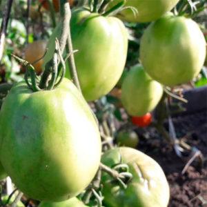 sort-tomata-lada