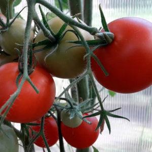 Sort-tomata-Albagambra_site