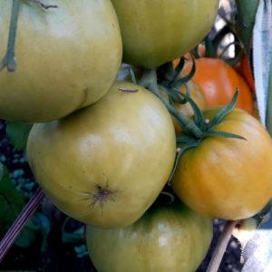 Sort-tomata-Lisonok