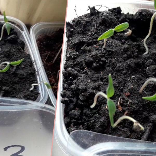 Почему не всходят семена помидор ? Что делать ?