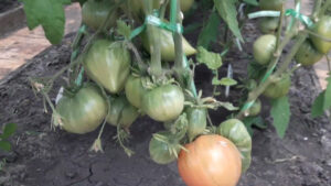 Ideal'naya podkormka dlya pomidor