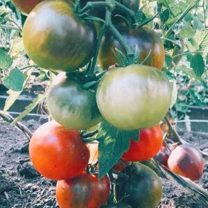 Tomat Prekrasnyy Mechtatel
