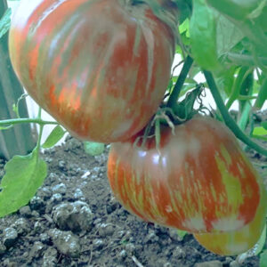 Tomat Berkli Tay Day Khaat