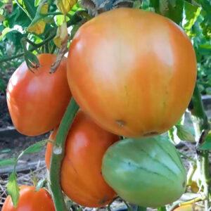 Tomat-Gollandskiye