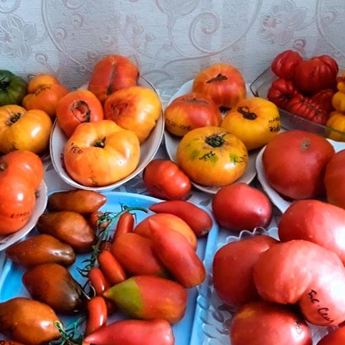 Дегустация томатов
